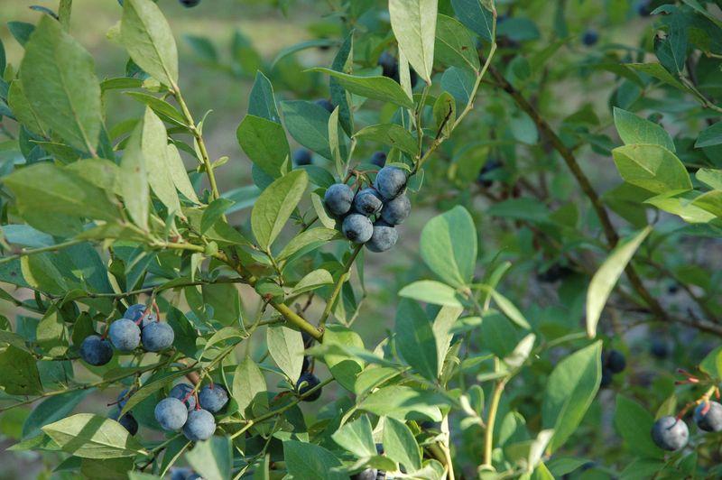 Berries on the bush 1